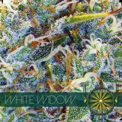 white widow semi di canapa all'ingrosso vision seeds