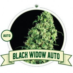 Black Widow Auto - City...