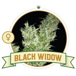 Black Widow FEM - 3 Seeds -...