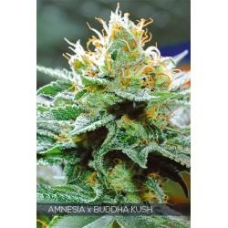 Amnesia X Buddha Kush FEM 3...