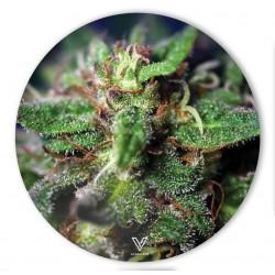 v-syndicate slikks dab mat with blue dream cannabis strain design