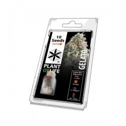 gelato autoflowering 10 seeds pack by Plant of Life. For wholesale only