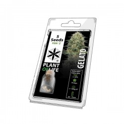 gelato 5 pack of cannabis seeds plant of life for wholesale