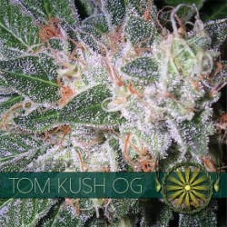 Tom Kush OG 3 seedsi FEM -...