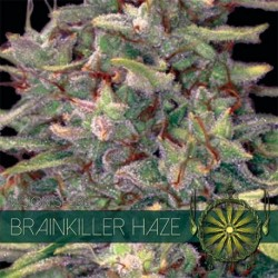 Brainkiller Haze 5 Seeds...