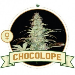 Chocolope FEM 3 Semi - City...