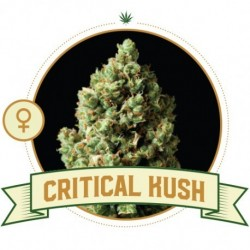 Critical Kush FEM - 3 Seeds...