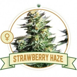 Strawberry Haze FEM 3 Semi...