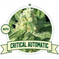Critical Auto 3 Semi - City...
