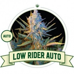 Low Ryder Auto - 3 Seeds -...