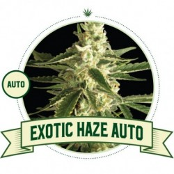 Exotic Haze Auto - 3 Seeds...